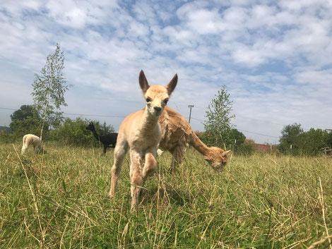Crias Alpaka Fohlen Baby Alpakabay Gustl Hell Herde Stute Hengst Koppel