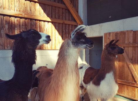 Lama lamawanderung Ohren Vlies Fell Lamatrekking Erlebnis Tiere Herde Stall  Lamaohren nodramalama Erlebnisbauernhof Bauernhof Zucht