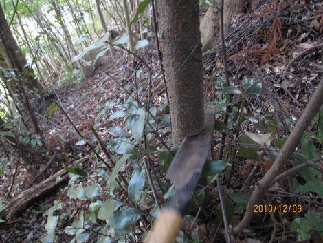 程よい椎の木を探し、切る。急斜面。お世辞にも足場が良い所ではない。