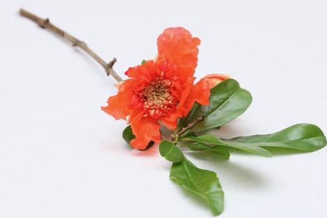 Punica granatum | Granatapfel-Blüte