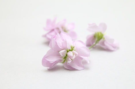 Levkojen | Matthiola rosa
