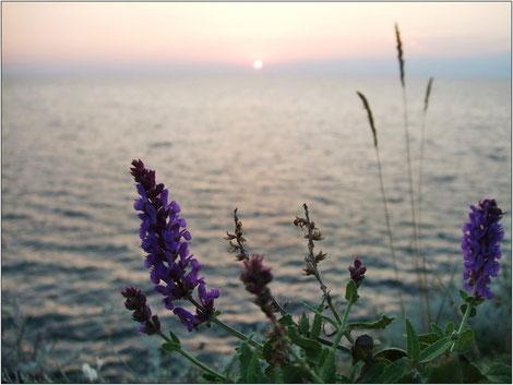 полевые цветы на фоне заката солнца над морем