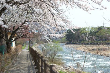 水上利根川沿い遊歩道と桜