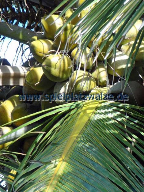 Kokospalme mit Kokosnüssen