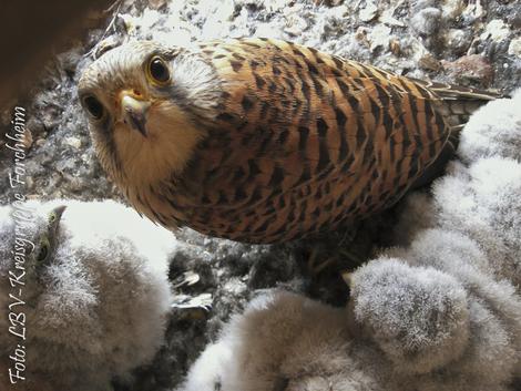 Turmfalke im Nest (Foto: Günther Eichler)