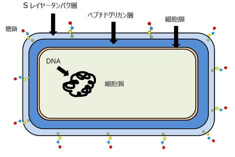 乳酸菌菌体の断面図