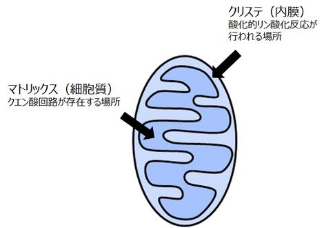 ミトコンドリアの構造