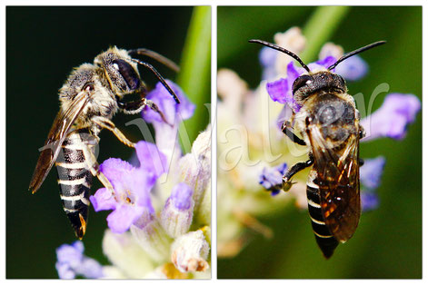 Bild: Kegelbiene, Lavendel