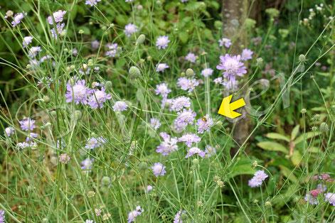 Bild: Gelbbindige Furchenbiene, Halictus scabiosae, Weibchen, Skabiosenblüte