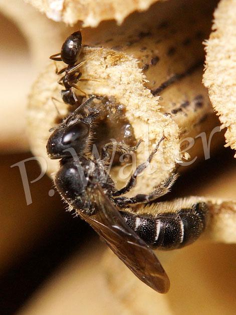 18.07.2014 : Glockenblumen-Scherenbiene mit frecher Ameise