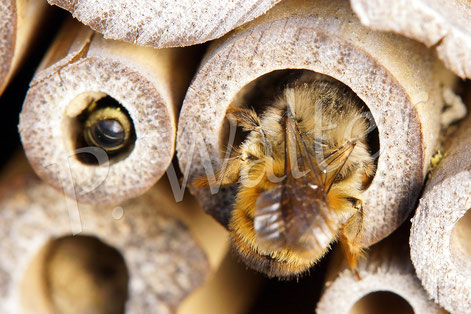 15.05.2017 : Mauerbiene und wahrscheinlich eine der ersten Hahnenfuß-Scherenbienen bei der Arbeit