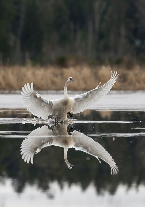 Trumpeter Swan landing in Comox.  Swans and geese winter in the Comox Valley