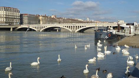 Ballet de cygnes, de canards  et de mouettes à proximité du pont Wilson (Photo : Josyane Locatelli)