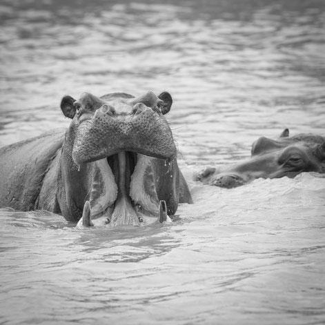hippos | wetlands park | südafrika