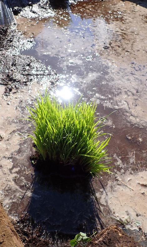 ビオトープに無農薬のコシヒカリを植える@さとやま農学校・すどう農園