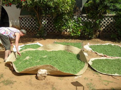 Moringa Trocknung in Afrika beim Hilfsprojekt