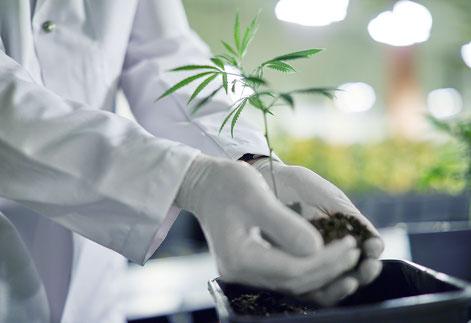 Hände mit Handschuhen beim Eintopfen eines Qualicann CBD Cannabis Specklings