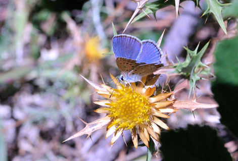 _DSC7858_Azuré de la bugrane-Polyommatus icarus-Lycaenidae