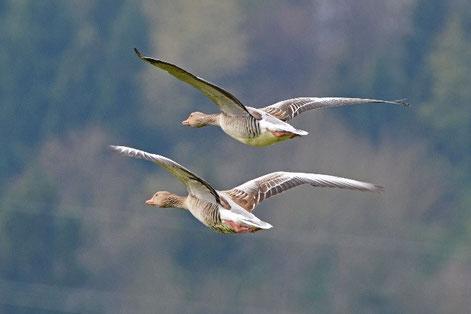 Graugänse im Flug (Bild Ueli Huber)