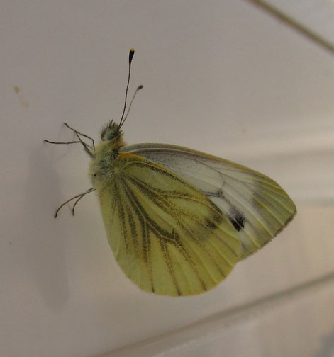 Green-veined white butterfly Pieris napi