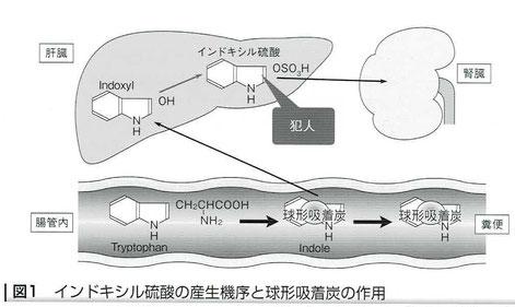 インドキシル硫酸の産生機序と球形吸着炭の作用