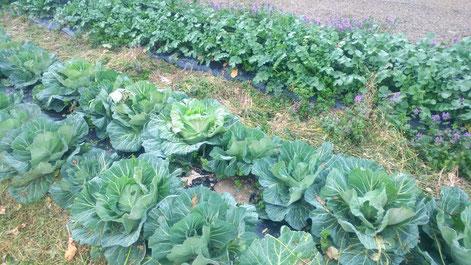 ミモレ農園 農薬不使用 キャベツと大根