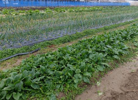 ミモレ農園 農薬不使用 キャベツ