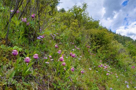 Waldwiese mit großem Bestand von Cypripedium yunnanense, Napahai, 3200m