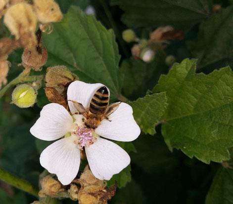 Spitzwegerich Knospe blühend Blüte