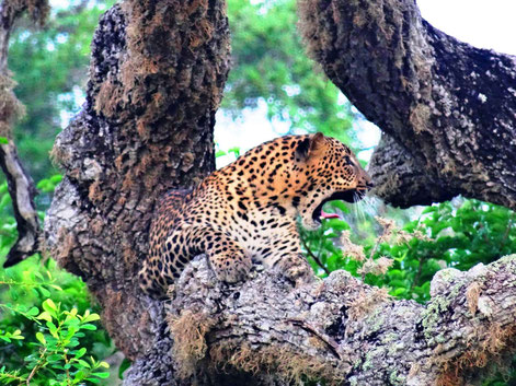 Prachtig luipaard in het Yala National Park