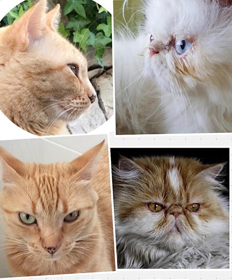 Brachycephalie - eine von Menschen gezüchtete Erbkrankheit, die der Katze viel Leid beschert, Züchter, Katzenvereine und Katzen-Bewertungsrichter interessiert das wenIg