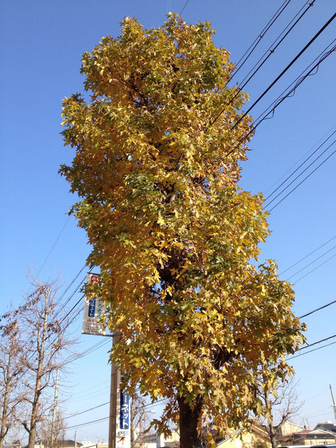一本だけ葉っぱが残っていたアメリカフウ 個体差で寒さに強い?