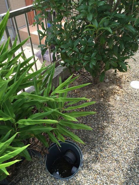 右上に見えるキンモクセイの方向から根っこが出ていたのでキンモクセイの根が疑わしい