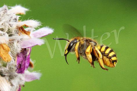 28.06.2016 : Garten-Wollbienen-Weibchen am Woll-Ziest