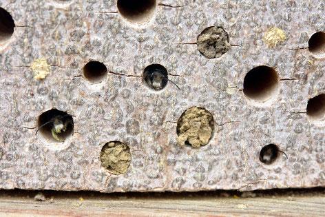 Bild: Männchen der Rostroten Mauerbiene, Osmia bicornis, Bohrlöcher in Baumscheibe, Nistverschluss