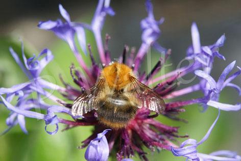 Bild: Ackerhummel, Bombus pascuorum, an einer Kornblume