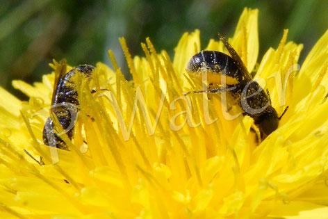 Bild: Löcherbienen, Löwenzahn, Pollen, Bauchbürste