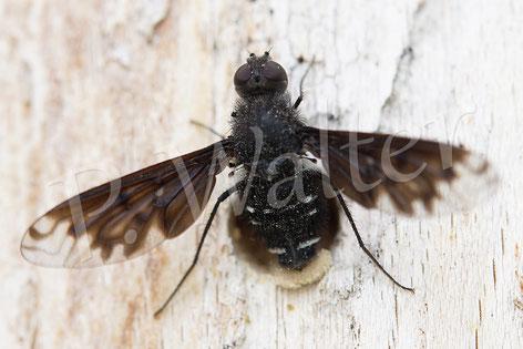 Bild: Trauerschweber, Anthrax anthrax, eine parasitierende Fliege. Eiablage