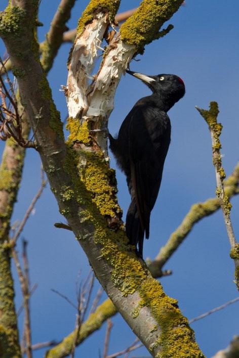 Pic noir, Dryocopus martius