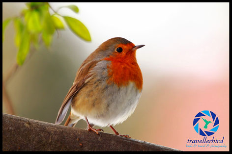 Robin cute littel bird