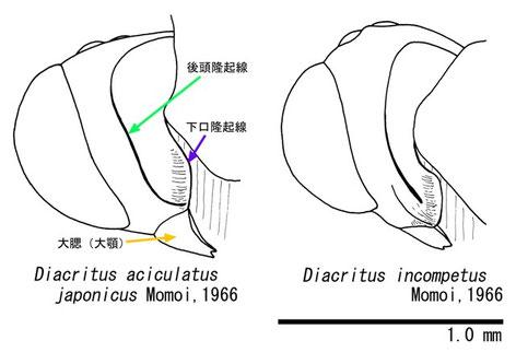 (図1)斜め側方より見たDiacritus属2種の頭部