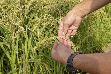 農家さんに聞くと、高温による影響を受けた米も少しあるものの、概ね良い出来とのこと。