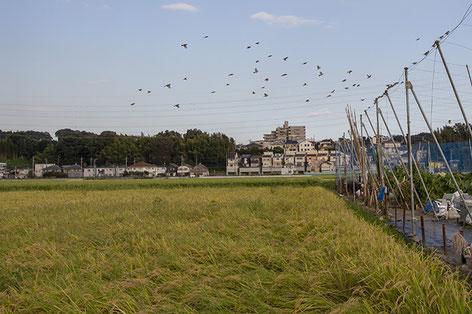 スズメの大群が、収穫前の米を狙う大軍となっていた。