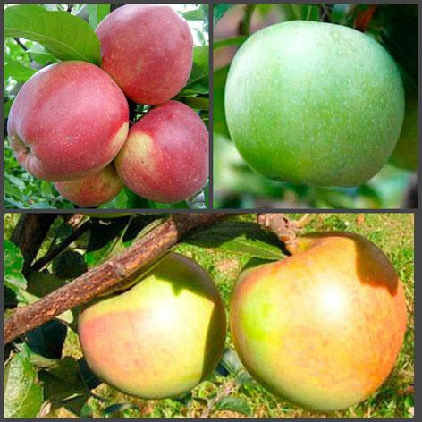 многосортовые яблони в Подмосковье