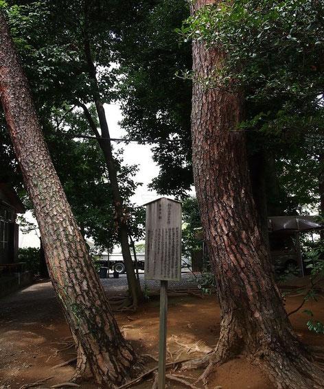 8月30日(2014) 自由の松(調布市:祇園寺):明治41年、祇園寺で自由民権運動の演説会が催されたときに、板垣退助が植樹した2本のアカマツ