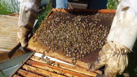 Un cadre rempli d'abeilles - Visite printemps Les Ruchers de Bastien Alise, apiculteur en Cevennes