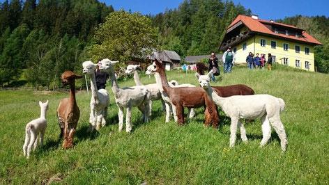Ansicht Wieserhof inkl. Alpakas