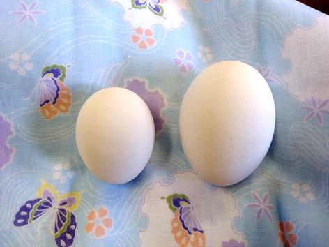 左が初産卵SSサイズです。
