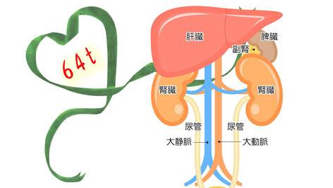 腎臓とその他臓器の位置