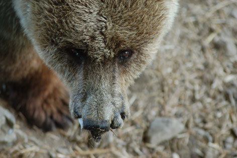 Bear Nastasija in Dancing BearPark Belitsa © Four Paws - Vier Pfoten